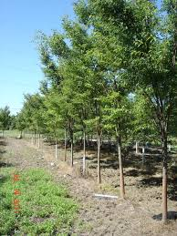 Green Vase Japanese Zelkova July 2011 Field Grown Stock