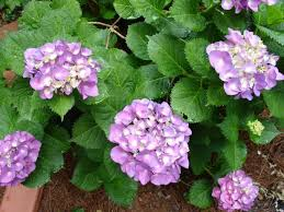 flower hydrangea how to care for hydrangeas hgtv
