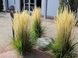 feather reed grass will grow just about anywhere xeriscape