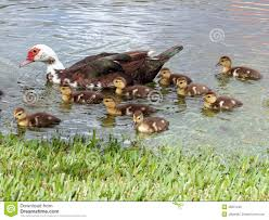 muscovy duck and ducklings stock photo image of rural 13236330