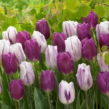 Flag Flower Tulip Purple Flag J Parkers Dutch Bulbs