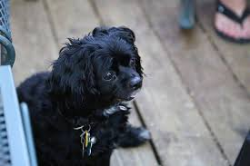 affenpinscher texas texas boy 10 to face felony charges in dog u0027s fatal beating ny