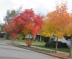 landscape design news trees for fall color