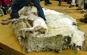 sheep u0027s wool grow modern farmer