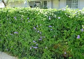 Purple Flower On A Vine - favorite vines for backyard flower gardens birds and blooms