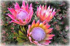 Protea Flower South Africa - protea flowers show your essentials creations essentials