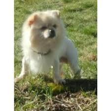 bedlington terrier seattle lost dogs in seattle wa lost my doggie