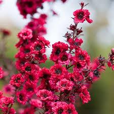 australian native plant names australian seed leptospermum scoparium manuka