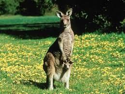 imagenes animales australia animales de australia comunes raros peligrosos