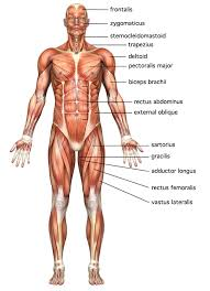Image result for muscles of the body