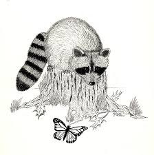 raccoon and monarch drawing by jackie irwin
