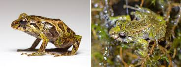 shape shifting shape shifting frog found goes from spiky to smooth in minutes