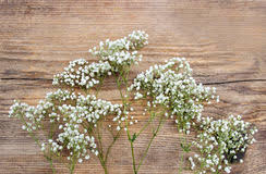 baby s breath baby s breath gypsophila paniculata on wood stock photo image