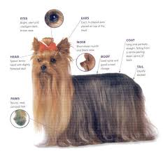 yorkie hair cut chart what to look for in a quality yorkie designer yorkies