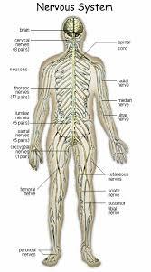 Nervous System Human Anatomy Human Anatomy Nervous Brain Max Anatomy Brain Amp Nervous System
