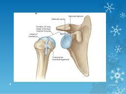 Supraglenoid Tubercle Glenohumeral Joint