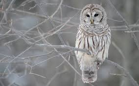 owl in a tree wallpapers owl in a tree stock photos