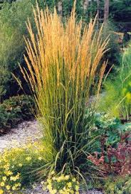 marshall trees nursery shrubs karl foerster feather reed grass