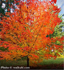 buy an affordable sugar maple tree at our nursery