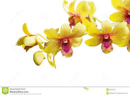 Yellow Orchid Yellow Dendrobium Orchid Stock Image Image 36251021