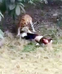 tourist mauled to by tigers in front of and child had