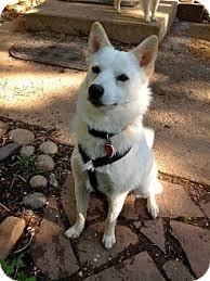 american eskimo dog rescue colorado centennial co shiba inu meet klondike a dog for adoption