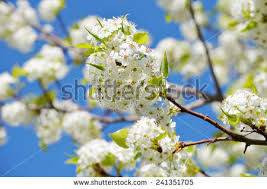 ornamental pear tree bloom stock images royalty free images