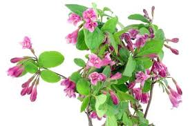 five most popular woody ornamentals for small growers profitable