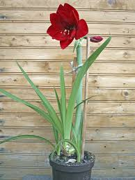 staking amaryllis plants tips on support for amaryllis flowers