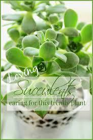 succulent facts succulents care of a trendy plant stonegable