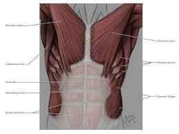 Human Anatomy Anterior Human Anatomy For The Artist The Anterior Torso Peel Away The Layers