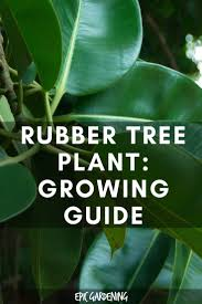28 rubber plant diseases module 6 lesson 2 i don t know rubber plant ficus elastica care and growing tips