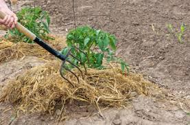 straw mulch for gardening u2013 how to use straw mulch around