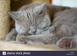 sleeping on short hair lilac british shorthair kitten cat sleeping stock photo 69512233