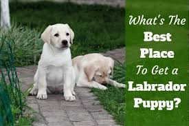 14 reasons labradors awesome dogs