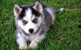 belgian shepherd vs husky 7 things you need to know before buying a pomsky animalso