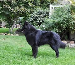 belgian sheepdog youtube ch blackforest u0027s aurora u2013 rosie u2013 blackforest belgian sheepdogs