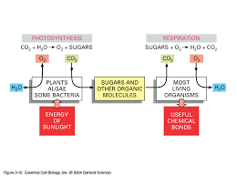 how do photosynthesis and respiration work together florian