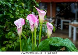 Image Of Calla Lily Flower - purple calla lily stock images royalty free images u0026 vectors