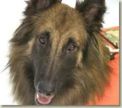 belgian sheepdog breeders in canada basquelaine belgian tervurens u0026 belgian sheepdogs puppies
