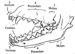 australian shepherd teeth anatomy the german shepherd dog