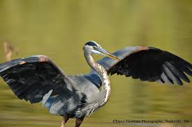 Tennessee birds images Birds harpeth conservancy jpg