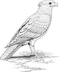bird coloring pages realistic falcon animal coloring pages of