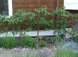 Planting Fruit Trees In Backyard Backyard Orchard Culture Too Good To Be True Northwest Edible Life