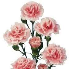 Wholesale Carnations Carnations Burgundy Fancy The Box The O U0027jays And Pink