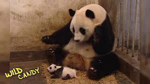 Funny Panda Memes - sneezing baby panda original video youtube