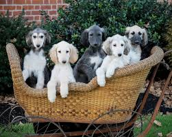 afghan hound of america scratch dog or not u2013 are afghan hounds hypoallergenic