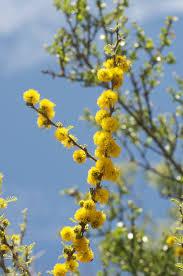 berri native plants acacia melanoxylon outside pinterest plants