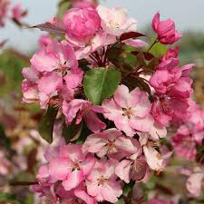 malus rudolph crab apple tree mail order trees