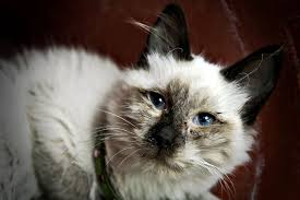 pros and cons of the new fiv vaccine for cats identifying and treating upper respiratory infections in cats